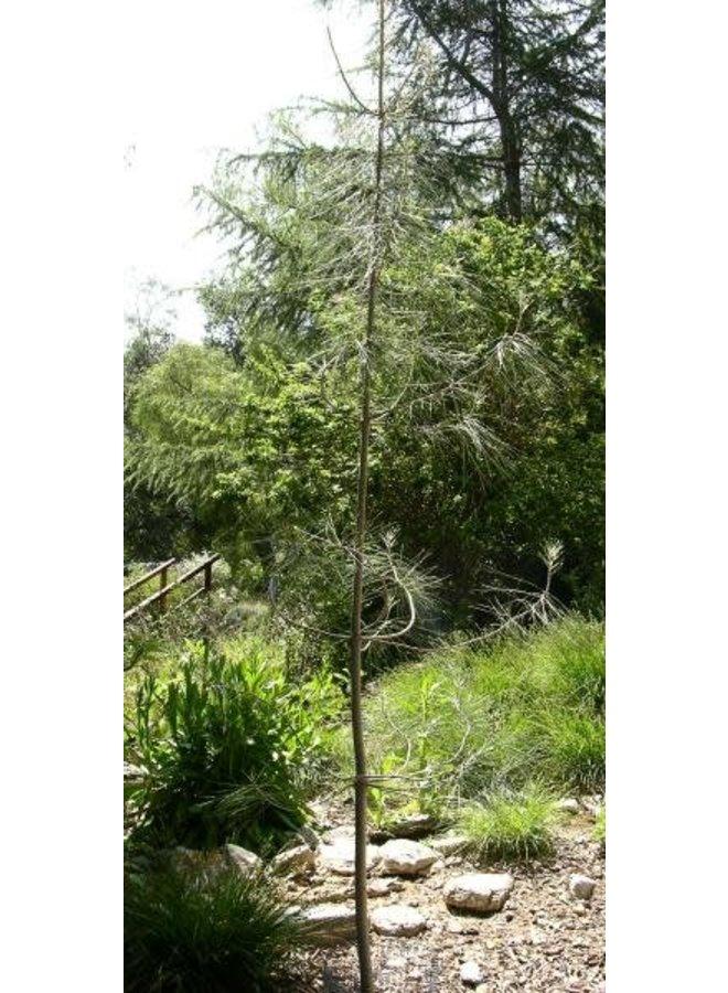 Pinus sabiniana - Gray Pine, Foothill Pine, Ghost Pine (Seed)