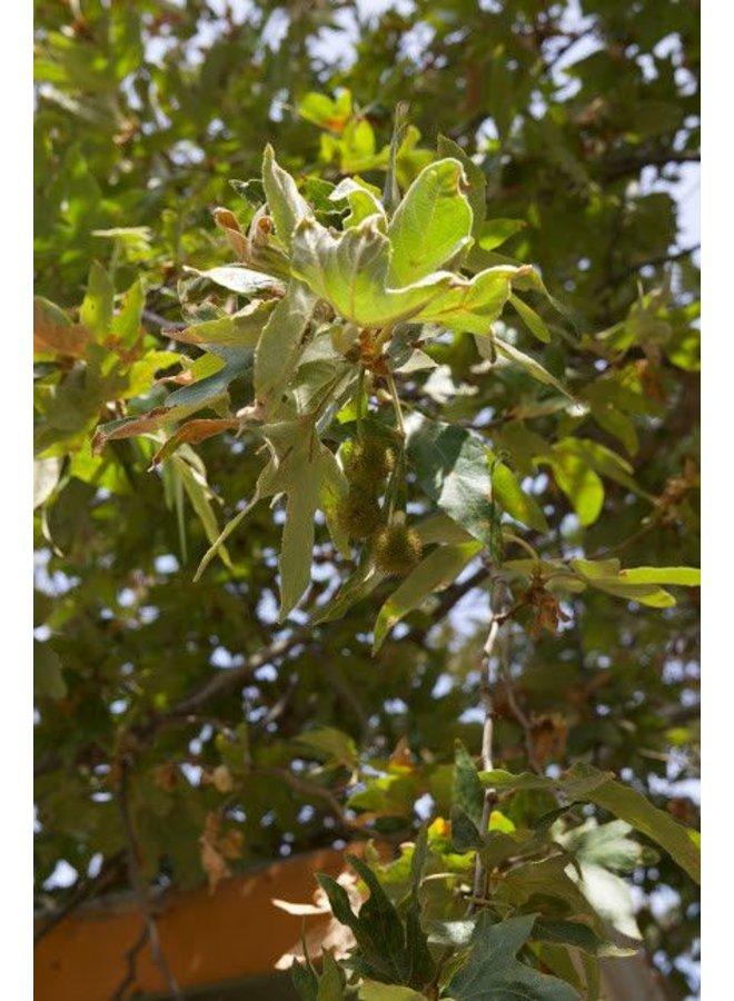 Platanus racemosa - Western Sycamore (Seed)