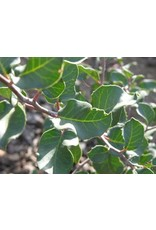 TPF Rhus integrifolia - Lemonade Berry (Seed)