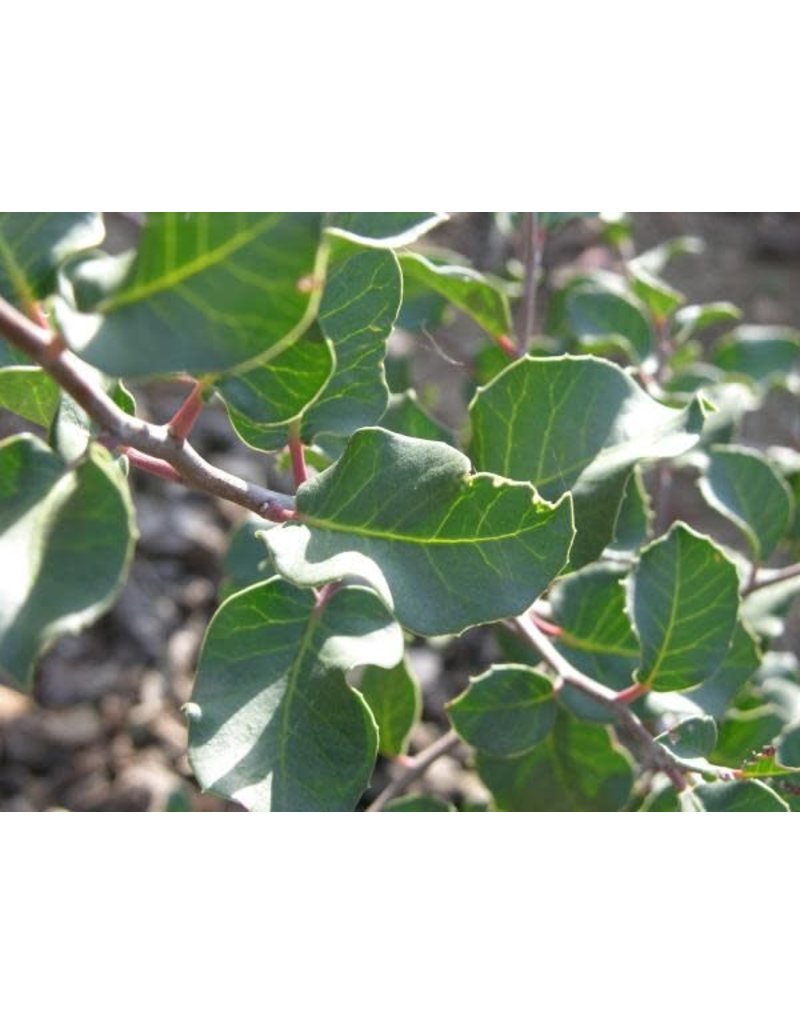 TPF Rhus integrifolia - Lemonade Berry (Seed)