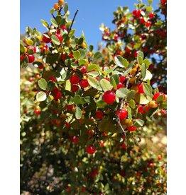 TPF Rhamnus crocea - Redberry (Seed)