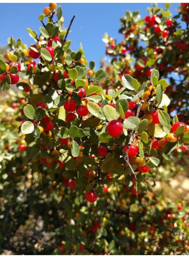 Rhamnus crocea - Redberry, Redberry Buckthorn (Seed)