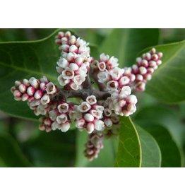 TPF Rhus ovata - Sugarbush (Seed)