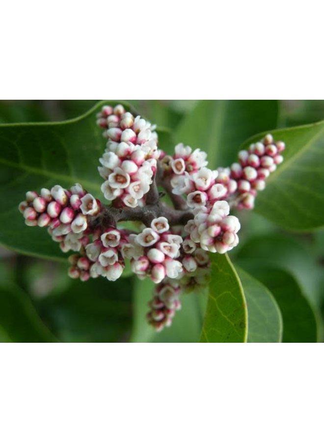 Rhus ovata - Sugar Bush (Seed)