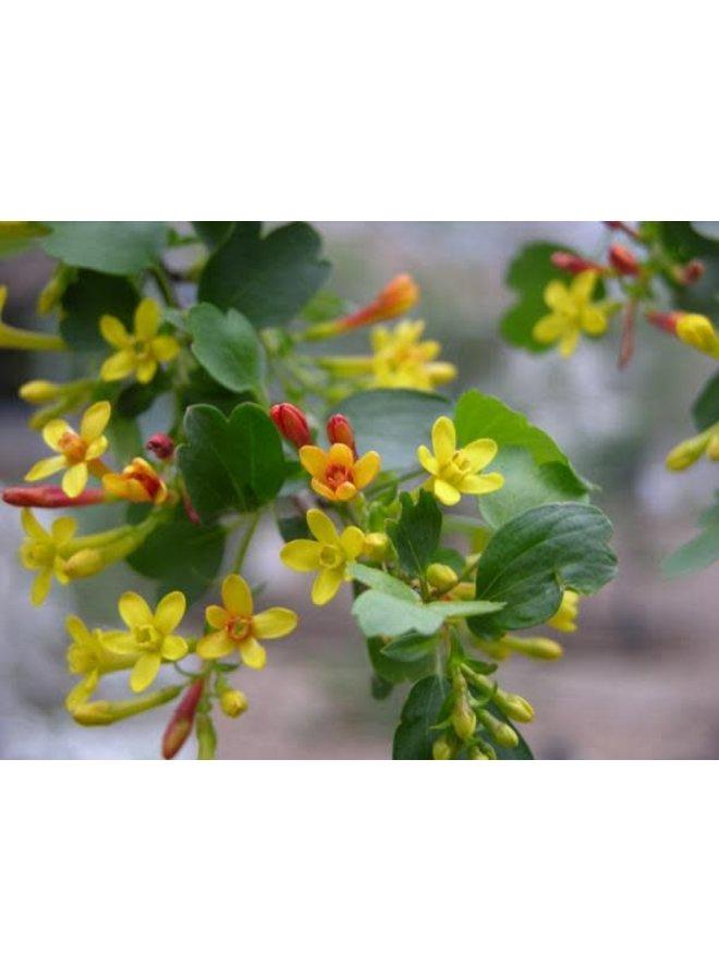 Ribes aureum var. gracillimum - Golden Currant (Seed)