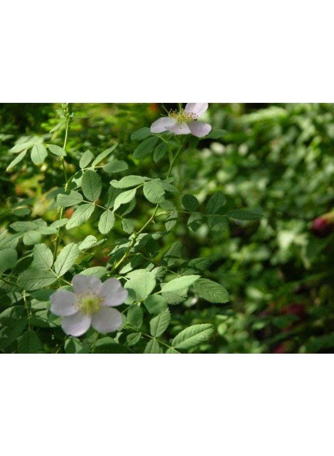 Rosa californica - California Wild Rose (Seed)
