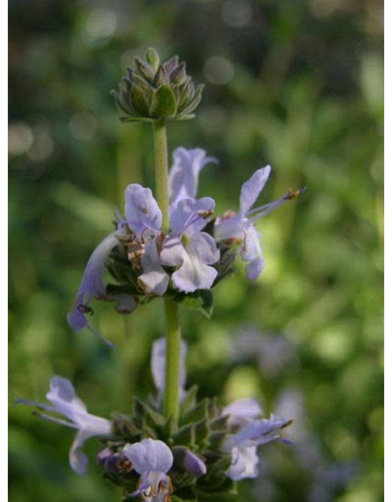 TPF Salvia mellifera - Black Sage (Seed)