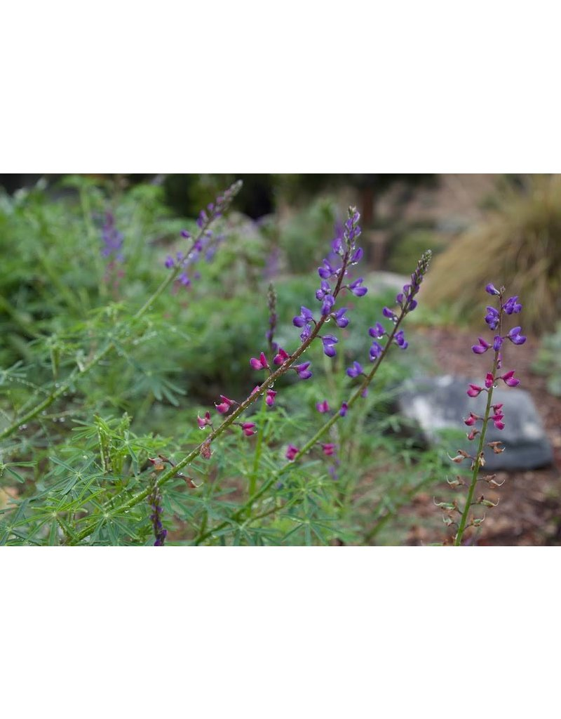 TPF Lupinus truncatus - Collared Annual Lupine (Seed)