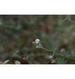 Acmispon americanus - American Bird's Foot Trefoil (Seed)