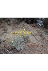 TPF Baileya multiradiata - Desert Marigold (Seed)