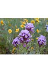 Castilleja exserta - Purple Owl's Clover (Seed)