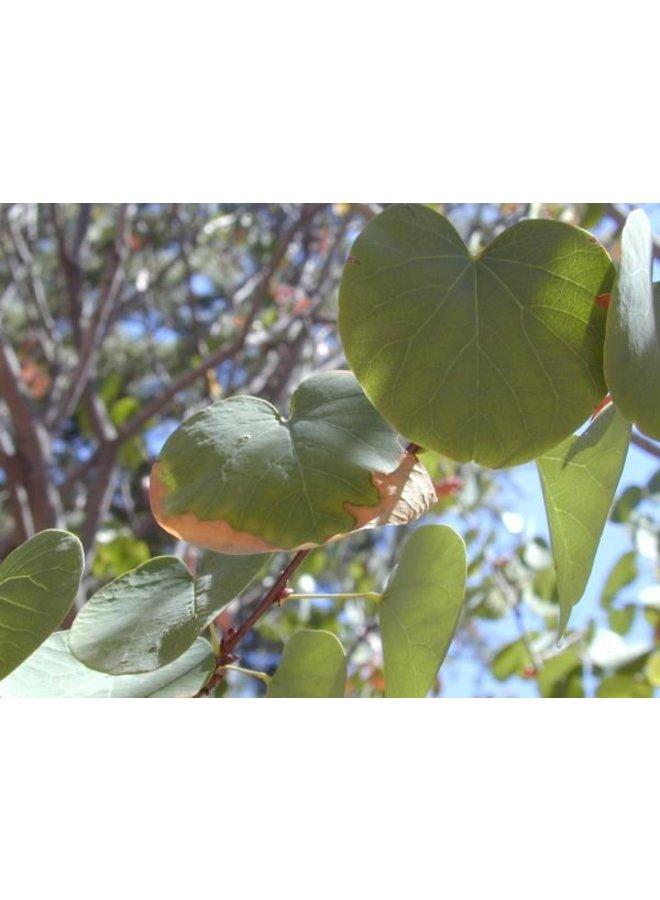 Cercis occidentalis - Western Redbud (Seed)