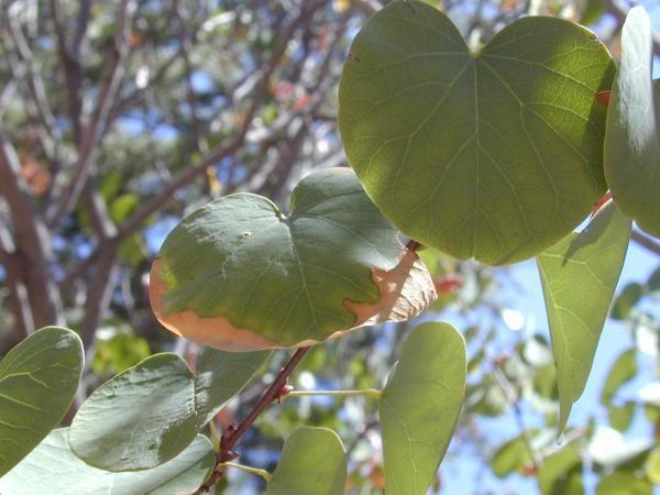 TPF Cercis occidentalis - Western Redbud (Seed)