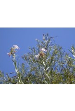 Chilopsis linearis - Desert Willow (Seed)