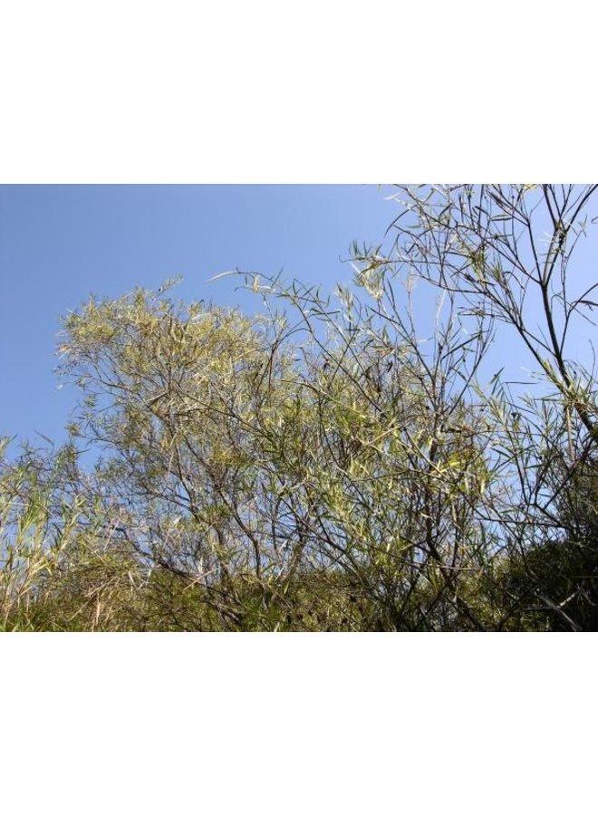 Chilopsis linearis - Desert Willow (Seed)