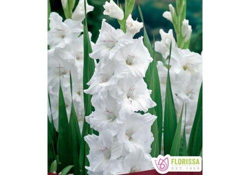 Gladiolus Oscilla Bulbs