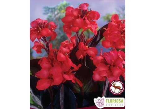 Canna Novelty Australis Bulbs