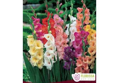 Gladiolus Rainbow Mix Bulbs