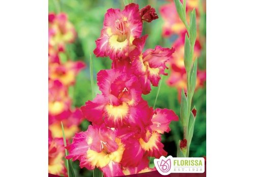 Gladiolus Far West Bulbs
