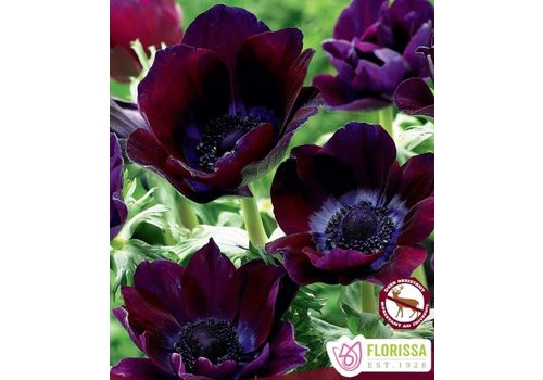 Anemone De Caen Bordeaux Bulbs