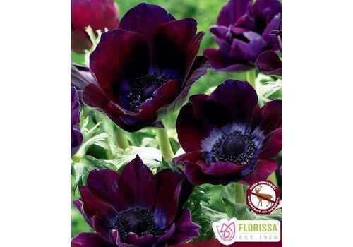 Anemone Meron Bordeaux Bulbs