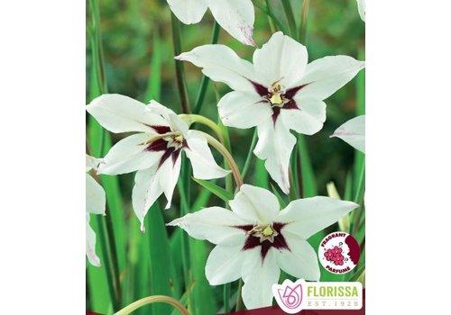 Acidanthera Bicolor Murilea