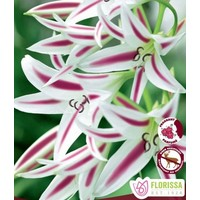 Crinum Stars and Stripes Bulbs