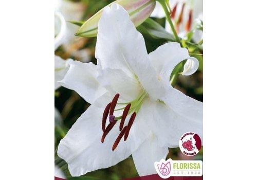 Lily Oriental Casablanca Bulbs