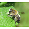 Dutch Growers Leafcutter Bees