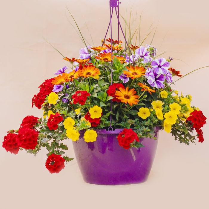 "Hanging Basket 14"" Sun"