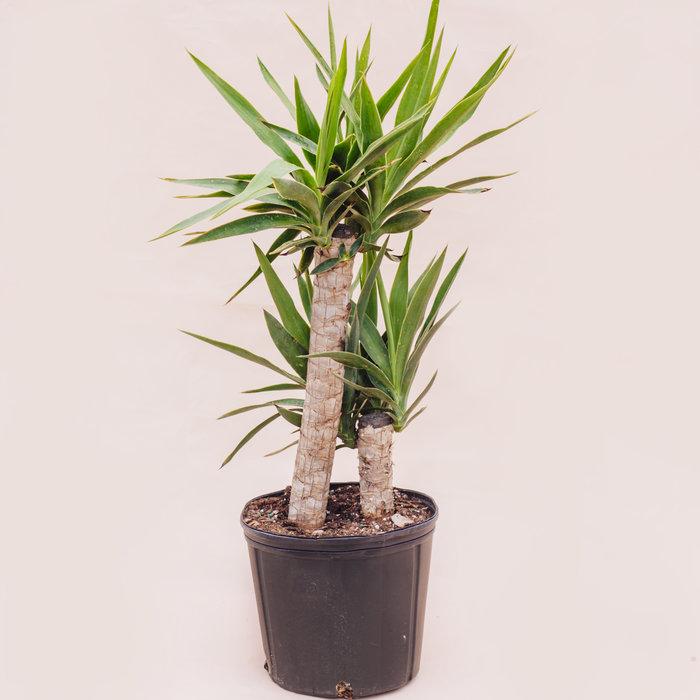 "Yucca Cane 10"""