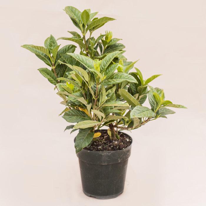 "Gardenia Bush 6"""