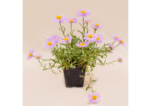 """Aster Spring Pink Happy End 3.5"""""""