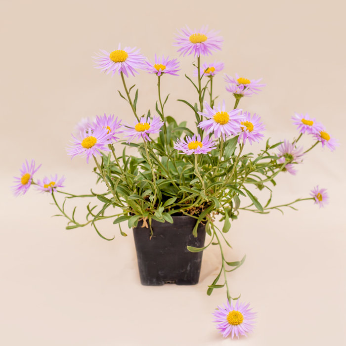 Aster Spring Pink Happy End 3.5""