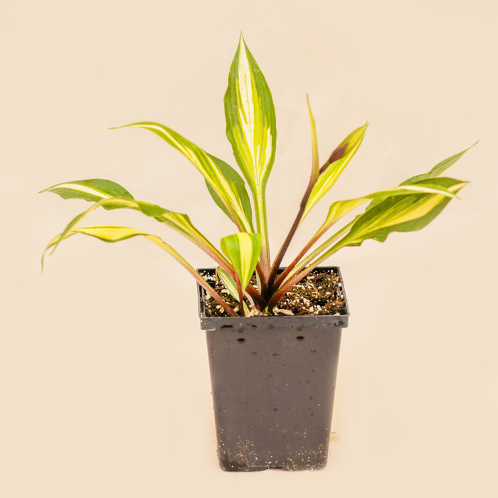 Hosta Cherry Berry 4.5""