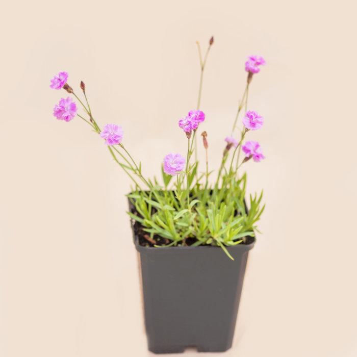 """Pinks Carnation Tiny Rubies 3.5"""""""