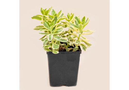 Sedum Tall Autumn Charm White 5.5""