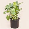 "Philodendron Monstera Bush 10"""