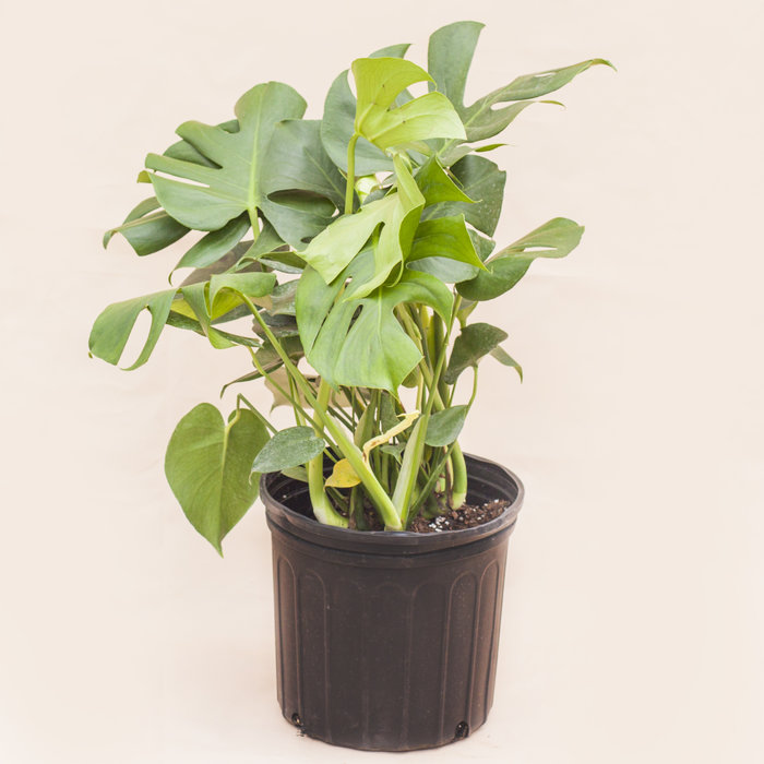 Philodendron Monstera Bush 10""