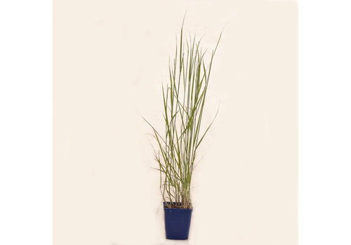 Grass Karl Foerster