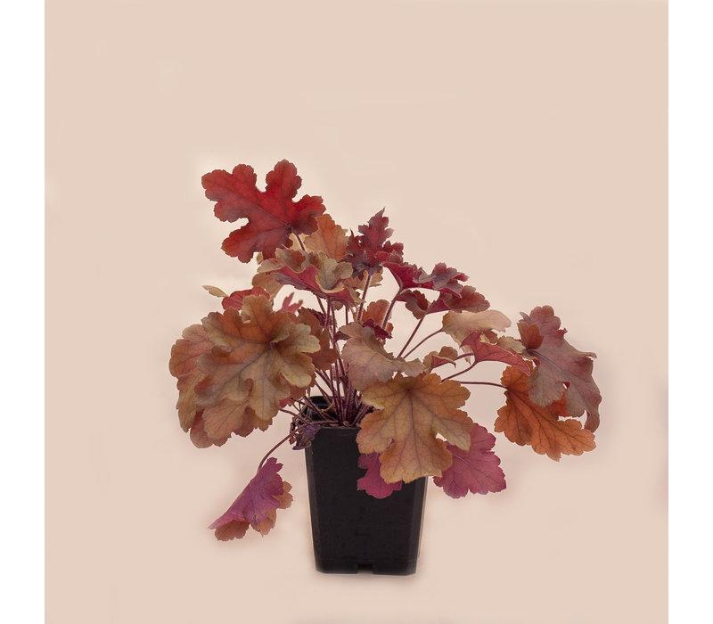 """Coral Bells Marmalade 3.5"""""""