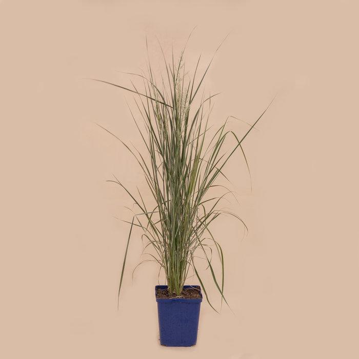 """Grass Overdam 5.5"""""""