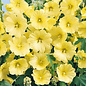Hollyhock Yellow 3.5""