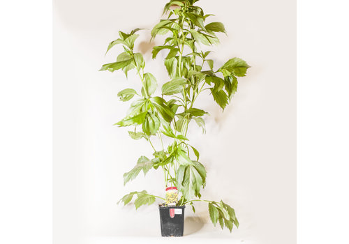 Rudbeckia Herbstonne