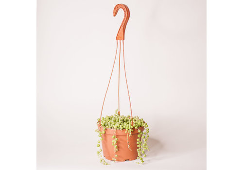 String of Pearls Hanging Basket 6""