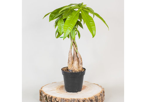"""Money Tree 4"""""""