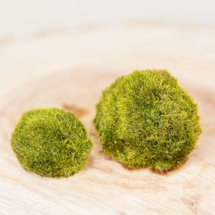 Marimo Moss Ball