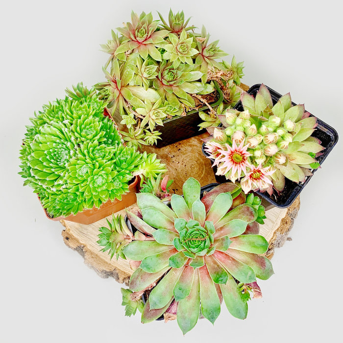 Hens and Chicks Assorted 3.5""