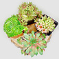 """Hens and Chicks Assorted 3.5"""""""