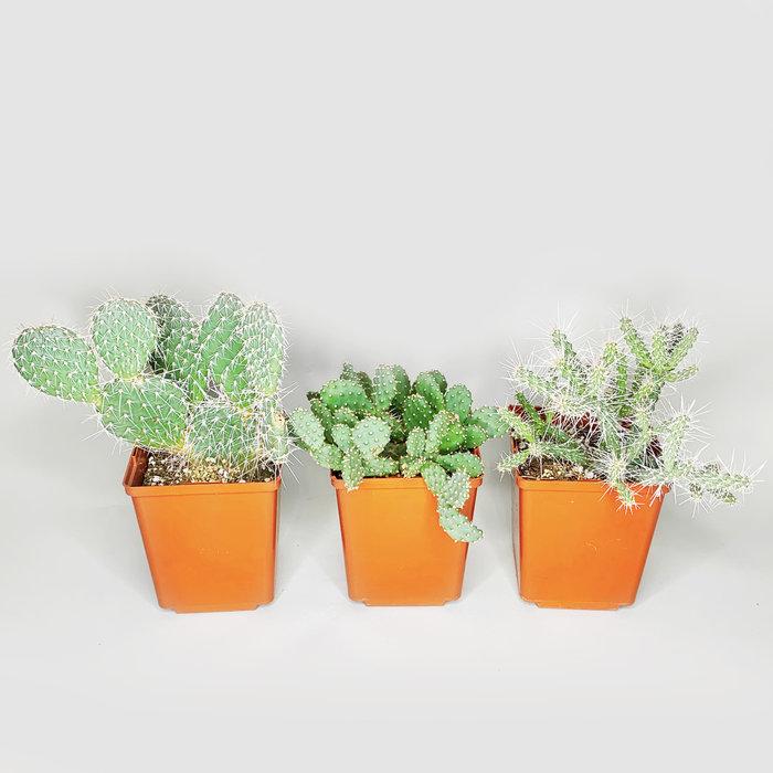 Hardy Opuntia Cactus 1gal